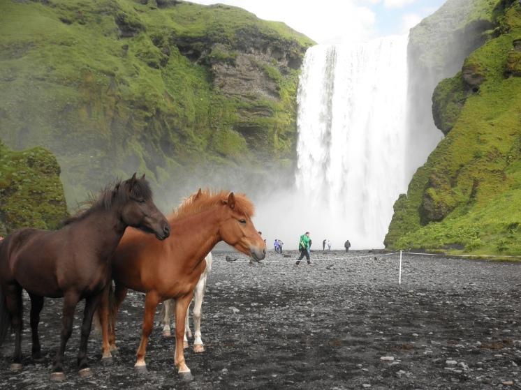 Icelandic horses and Skogafoss waterfall